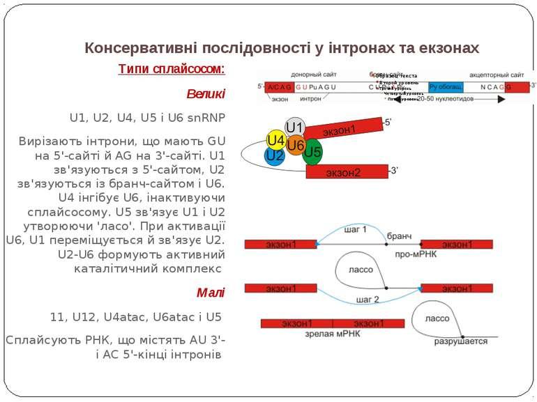 Консервативні послідовності у інтронах та екзонах Типи сплайсосом: Великі U1,...