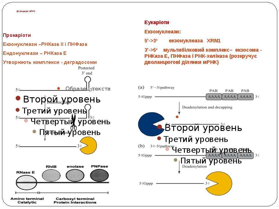 Деградація мРНК Прокаріоти Екзонуклеази –РНКаза ІІ і ПНФаза Ендонуклеази – РН...