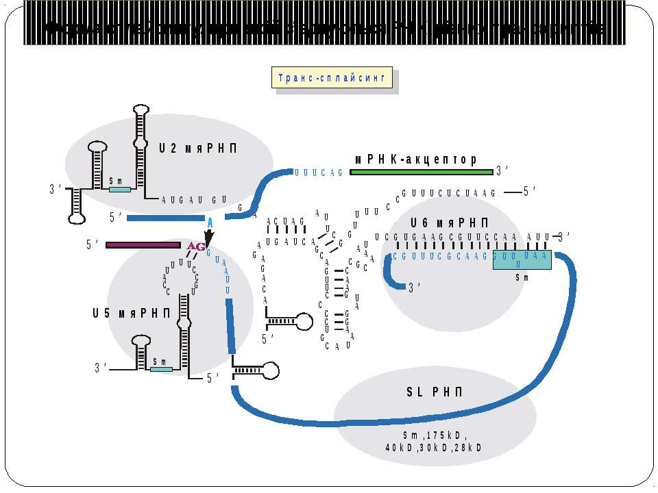 Форма сплайсингу, при якій з'єднуються РНК різних транскриптів