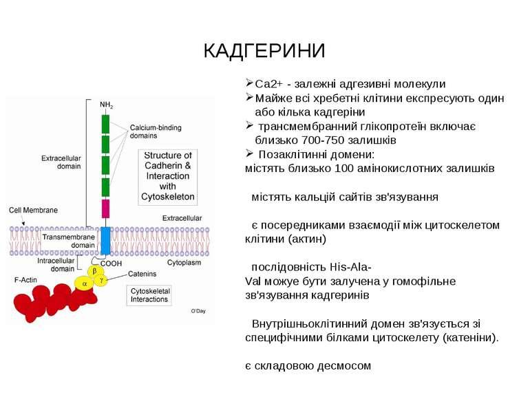 КАДГЕРИНИ Са2+ - залежні адгезивні молекули Майже всіхребетніклітиниекспре...