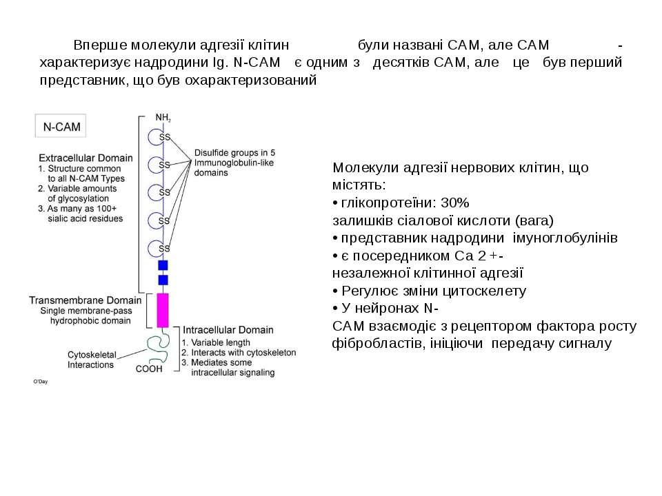 Впершемолекулиадгезіїклітин булиназваніCAM,алеCAM - характеризуєнадро...