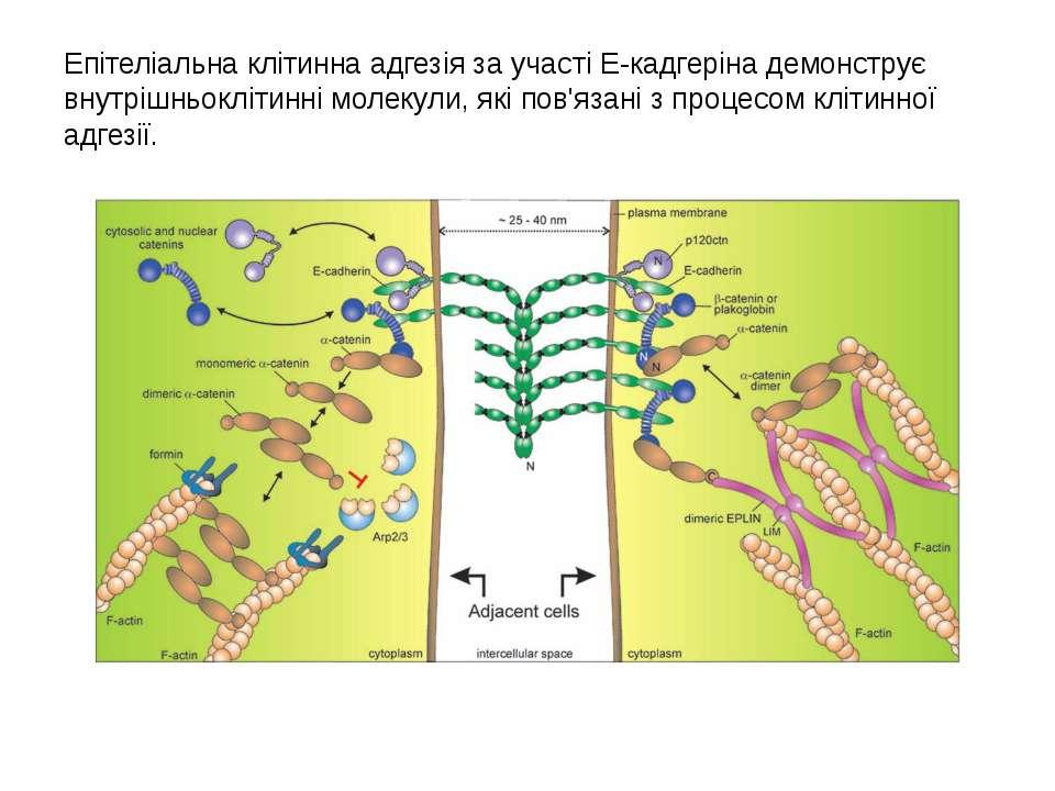 Епітеліальнаклітиннаадгезіяза участіE-кадгерінадемонструє внутрішньокліт...