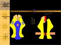АХ-зв язуючий сайт Ліпідний бішар цитозоль канал пора ворота АХ-залежний каті...