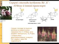 Серцеві глікозиди інгібують Na+,K+-ATФазу й іонний транспорт Серцеві глікозид...