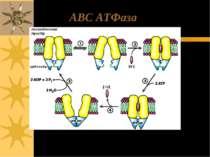 ABC ATФаза
