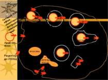 повернення клатрину до ПМ Рецептор до ЛПНЩ ApoB-100 білок Складові ЛПНЩ: ефір...