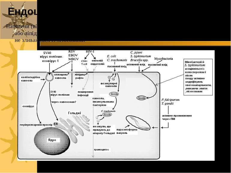 Патогени (віруси, бактерії, мікобактерії, паразити), що входять в клітини чер...