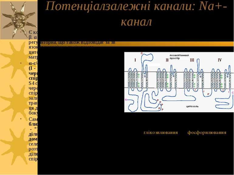 Потенціалзалежні канали: Na+-канал Є комплексом 2-х типів білкових с/о - α і ...