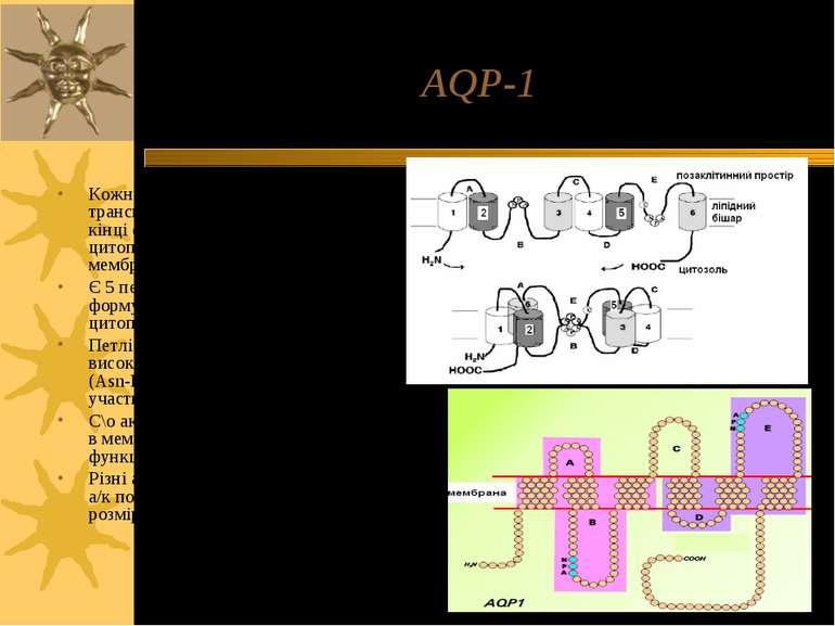 AQP-1 Кожна субодиниця аквапорину має 6 трансмембранних α-спіралей; С- і N-кі...