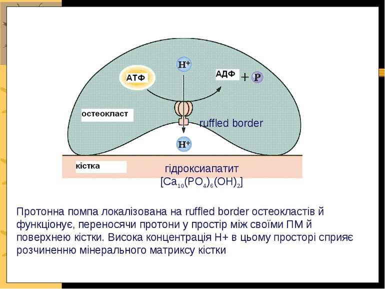 Протонна помпа локалізована на ruffled border остеокластів й функціонує, пере...