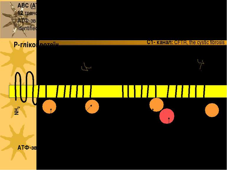 ABC (ATP-Binding Cassette) транспортери: 2 домени; кожен з них має 6 або 12 т...