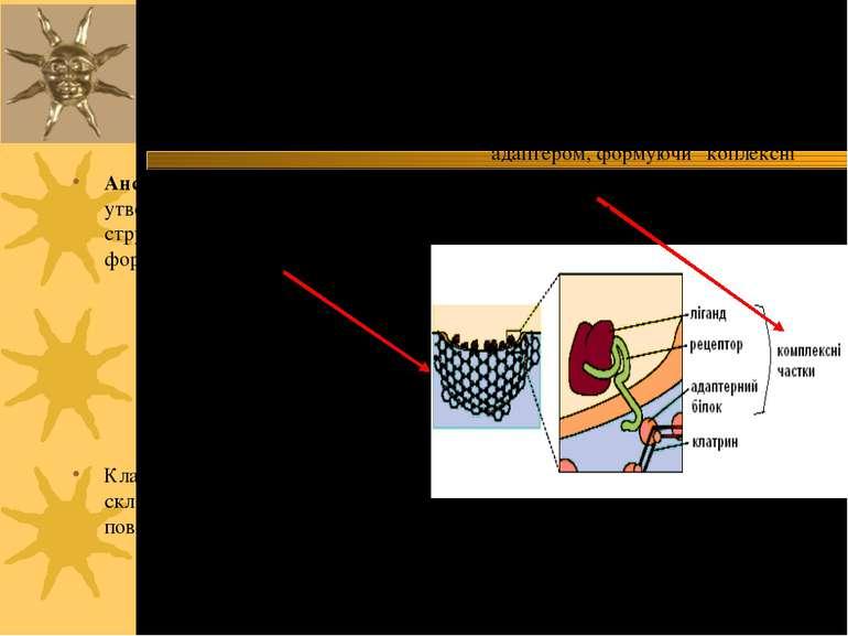 Ансамблі КЧ + клатрин утворюють кошикоподібні структури, що викривляють ПМ, ф...