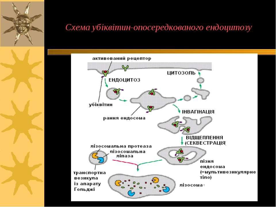 Схема убіквітин-опосередкованого ендоцитозу