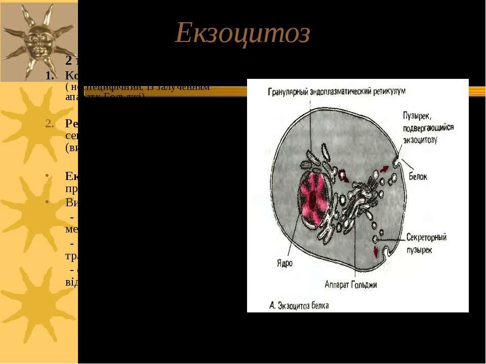Екзоцитоз 2 типи екзоцитозу: 1. Конститутивний шлях ( неспецифічний, із залуч...