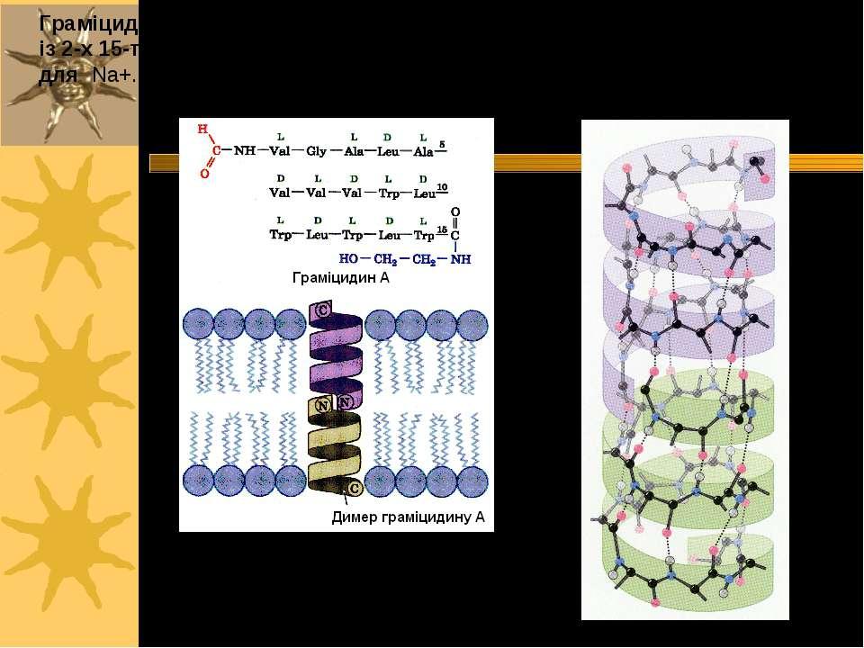 Граміцидин A (Bacillus brevis) з трансмембранним каналом, що складається із 2...