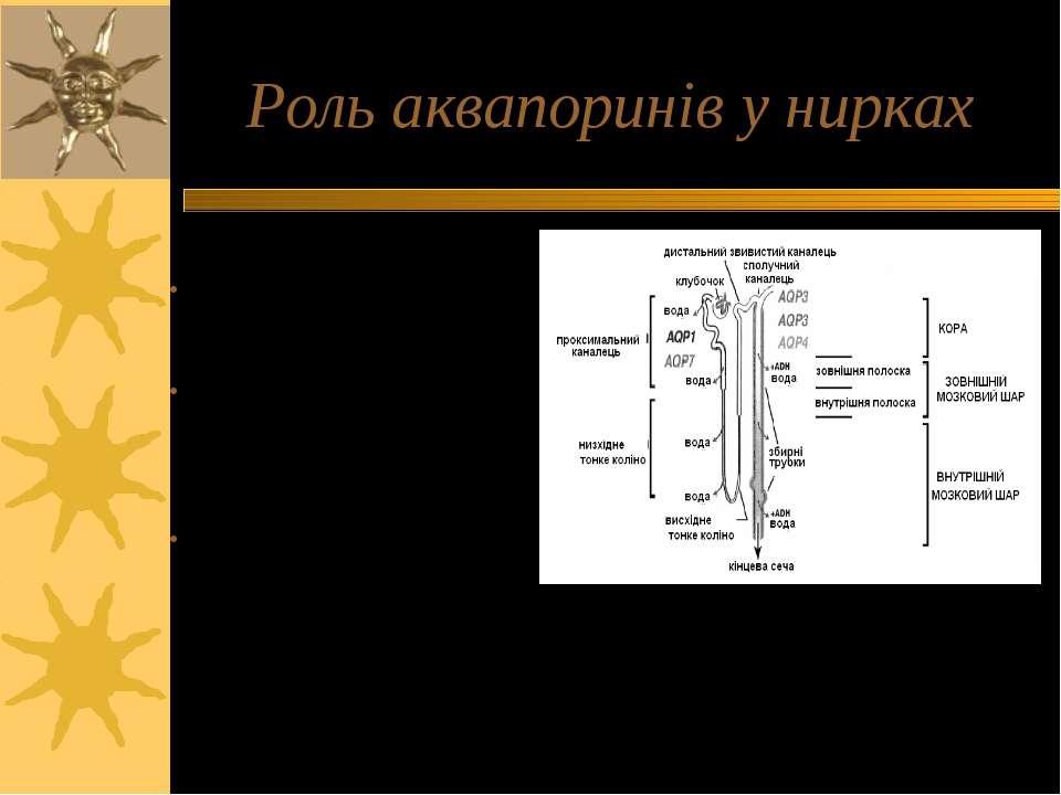 Роль аквапоринів у нирках 170 л первинної сечі продукується за добу; екскрету...