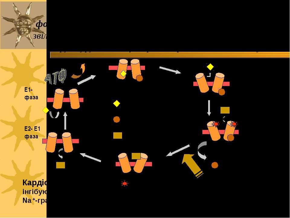 Ферментативний цикл Na+-K+-ATФази: фосфорилювання змінює конформацію α-с/о – ...