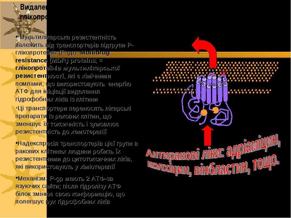 Мультилікарська резистентність залежить від транспортерів підгрупи P-глікопро...