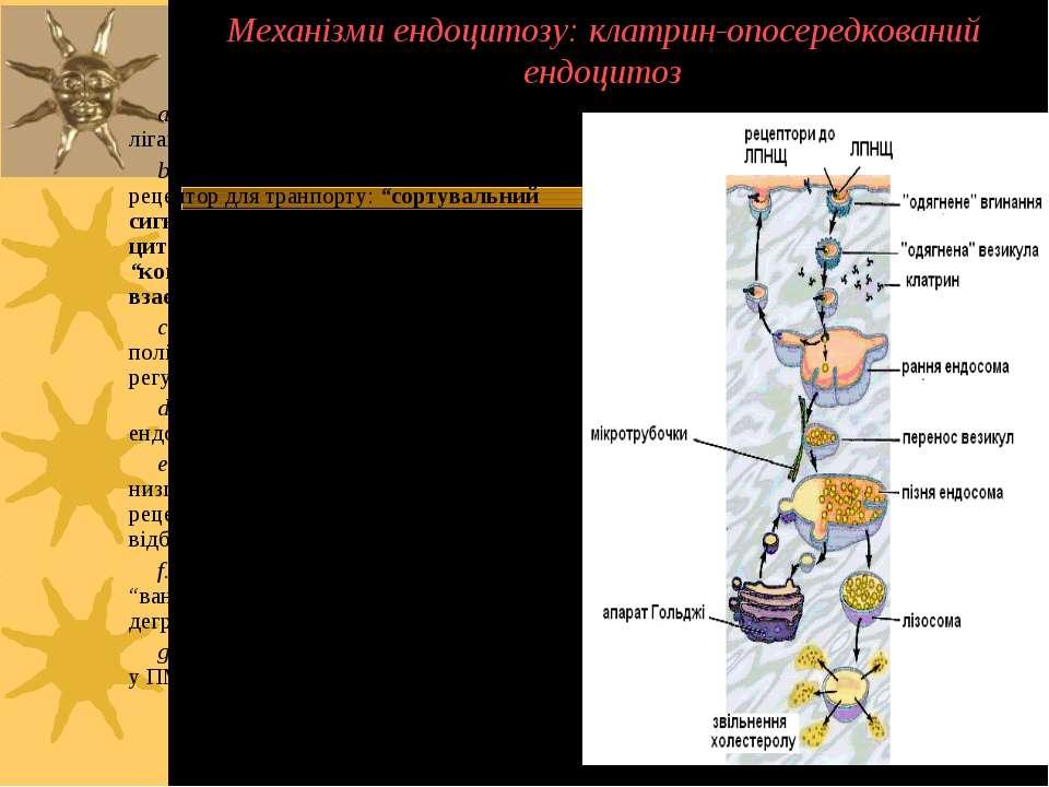 Механізми ендоцитозу: клатрин-опосередкований ендоцитоз a. Рецептори забезпеч...
