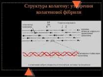 Структура колагену: утворення колагенової фібрили
