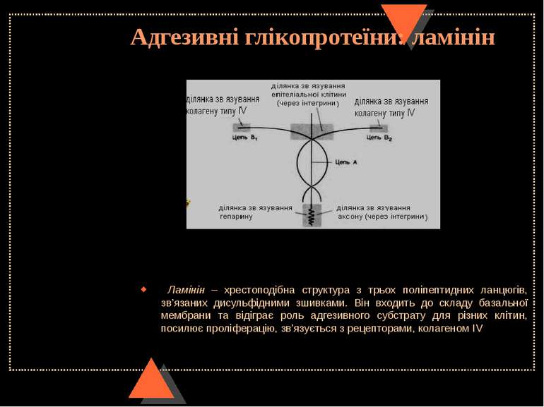 Адгезивні глікопротеїни: ламінін Ламінін – хрестоподібна структура з трьох по...