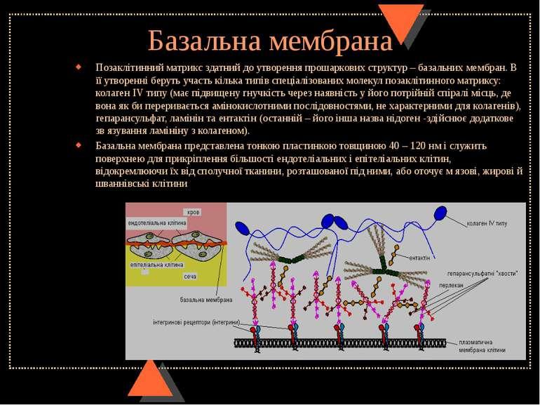 Базальна мембрана Позаклітинний матрикс здатний до утворення прошаркових стру...
