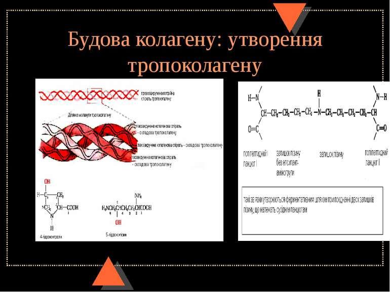 Будова колагену: утворення тропоколагену