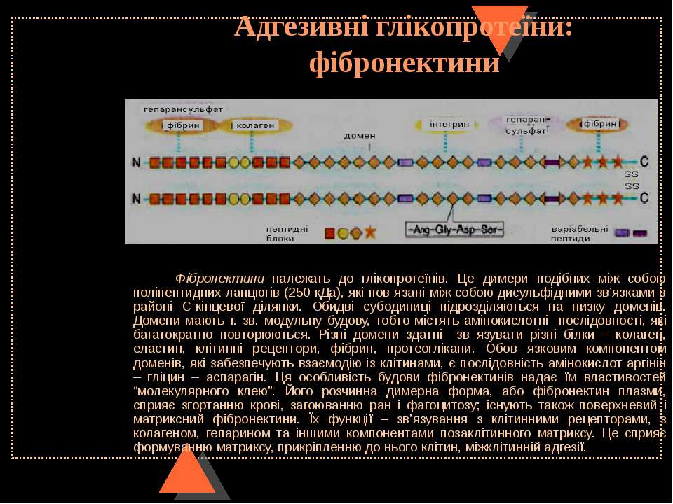 Адгезивні глікопротеїни: фібронектини Фібронектини належать до глікопротеїнів...