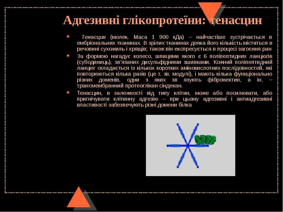 Адгезивні глікопротеїни: тенасцин Тенасцин (молек. Маса 1 900 кДа) – найчасті...