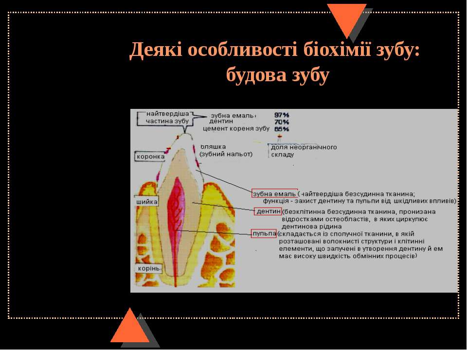 Деякі особливості біохімії зубу: будова зубу