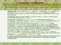 Ліпідні рафти (продовження) Ліпідний рафт (досл. ліпідний плот, англ. lipid r...