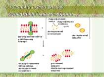 Загальна схема впливу детергентів на мембрани