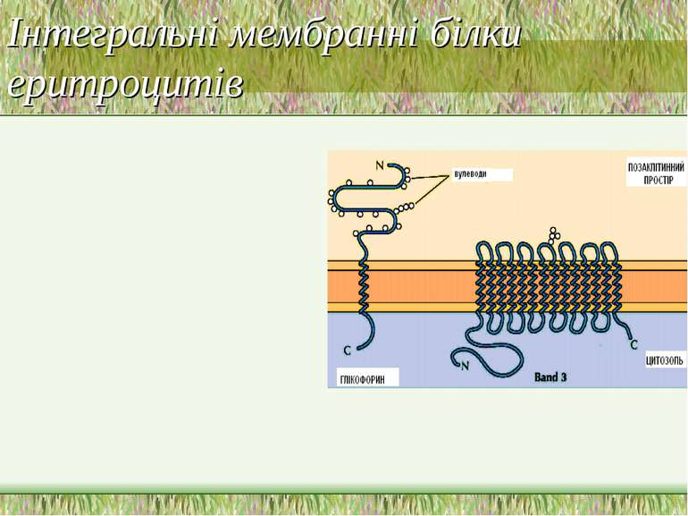 Інтегральні мембранні білки еритроцитів
