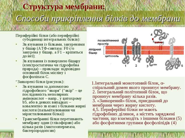 Способи прикріплення білків до мембрани Периферійні білки (або периферійні су...