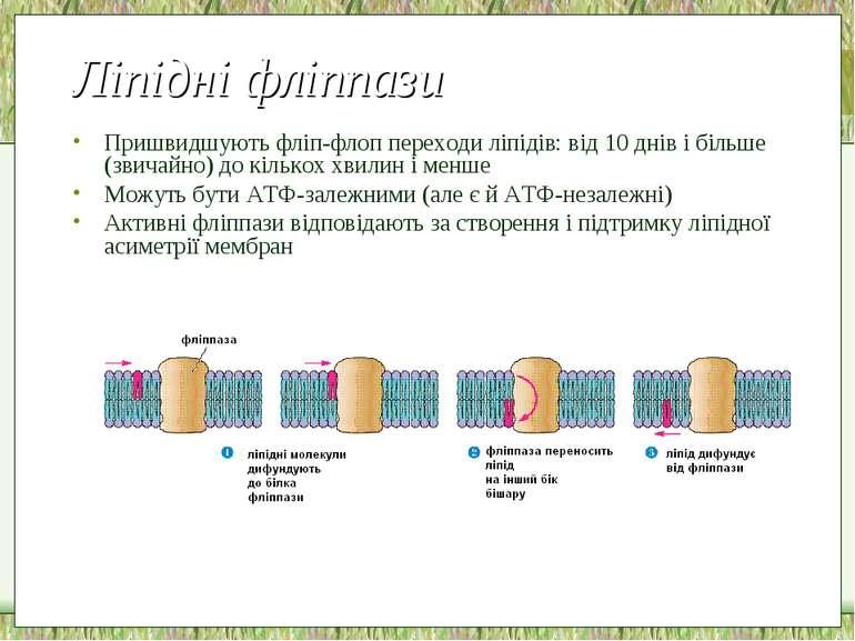 Ліпідні фліппази Пришвидшують фліп-флоп переходи ліпідів: від 10 днів і більш...