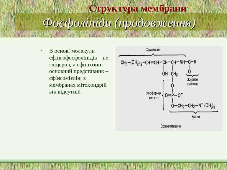 Фосфоліпіди (продовження) В основі молекули сфінгофосфоліпідів – не гліцерол,...