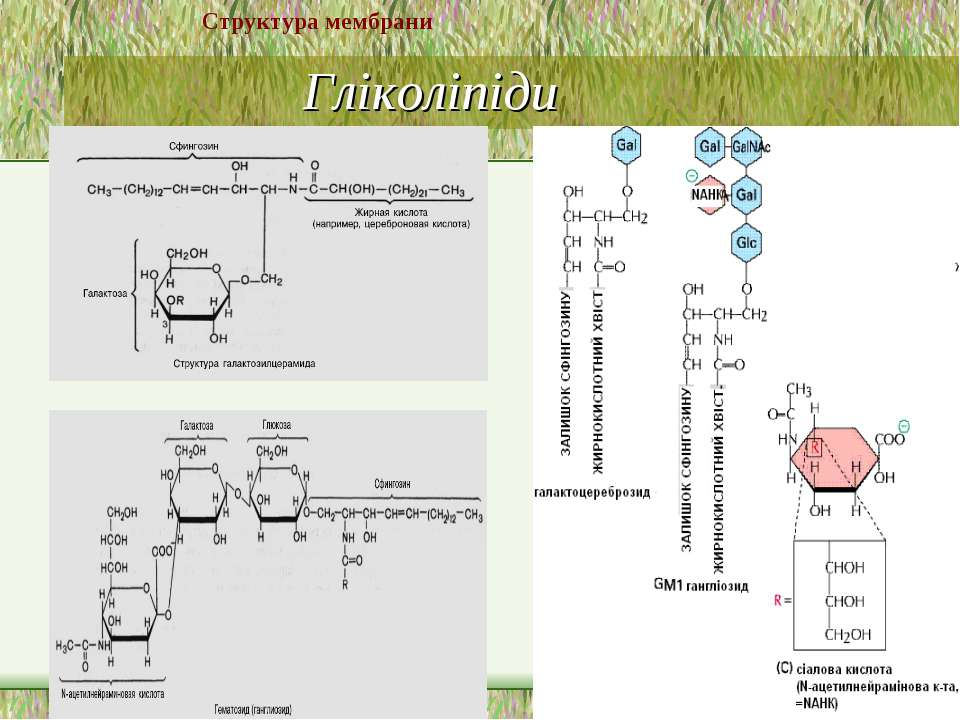 Гліколіпіди Структура мембрани