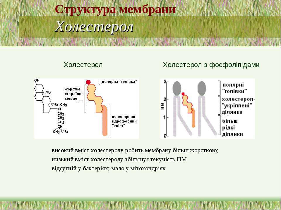 Структура мембрани Холестерол високий вміст холестеролу робить мембрану більш...