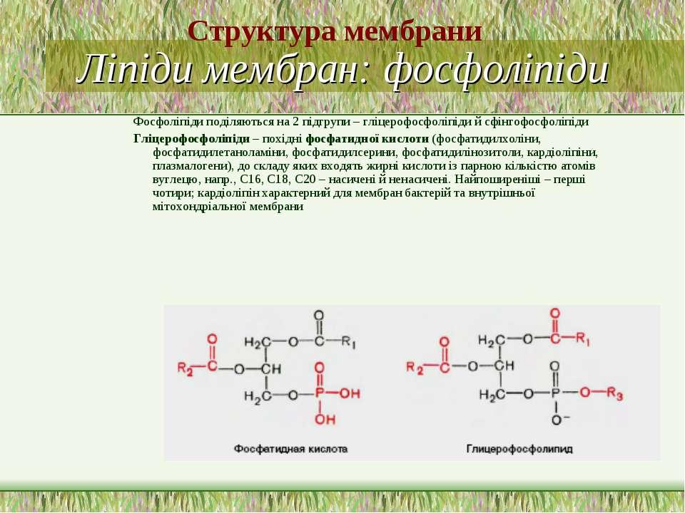 Ліпіди мембран: фосфоліпіди Фосфоліпіди поділяються на 2 підгрупи – гліцерофо...