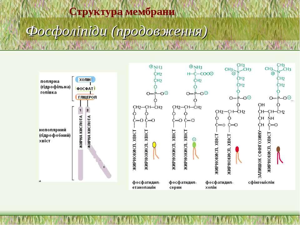 Фосфоліпіди (продовження) Структура мембрани