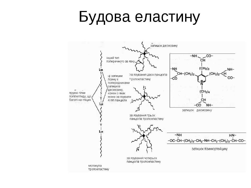 Будова еластину