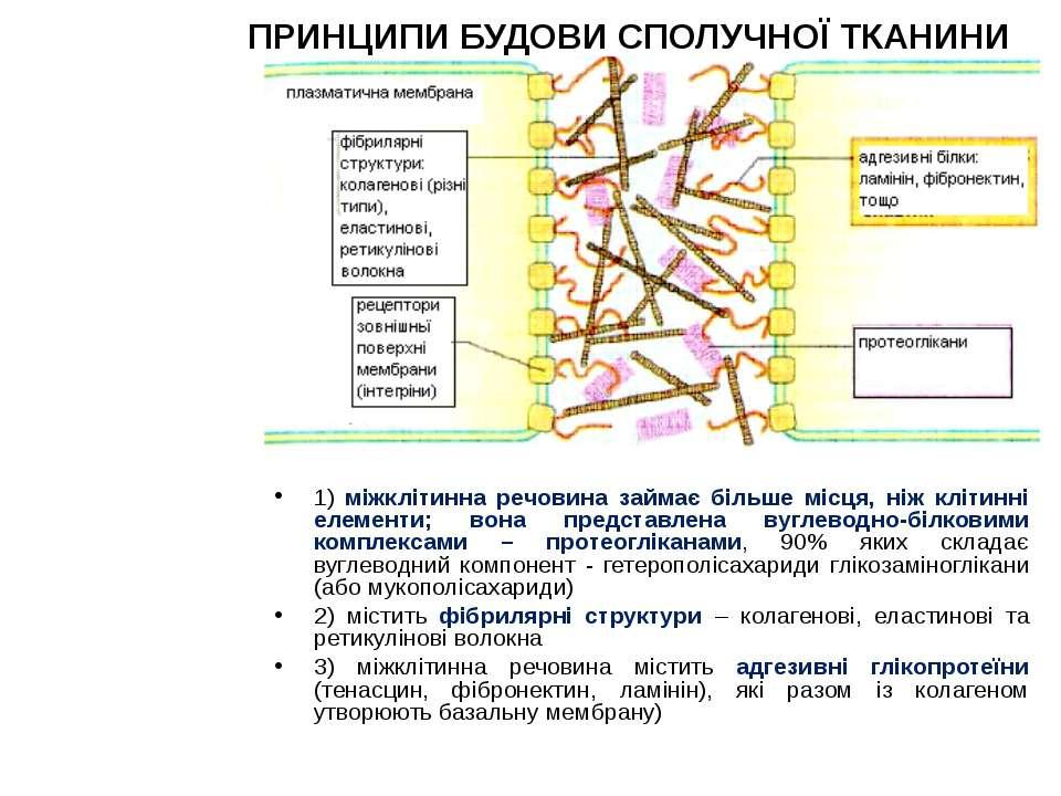 ПРИНЦИПИ БУДОВИ СПОЛУЧНОЇ ТКАНИНИ 1) міжклітинна речовина займає більше місця...