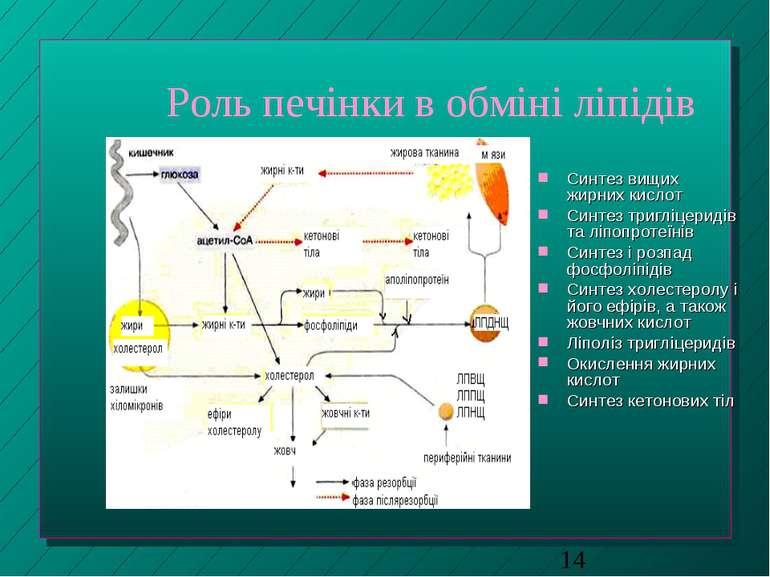 Роль печінки в обміні ліпідів Синтез вищих жирних кислот Синтез тригліцеридів...