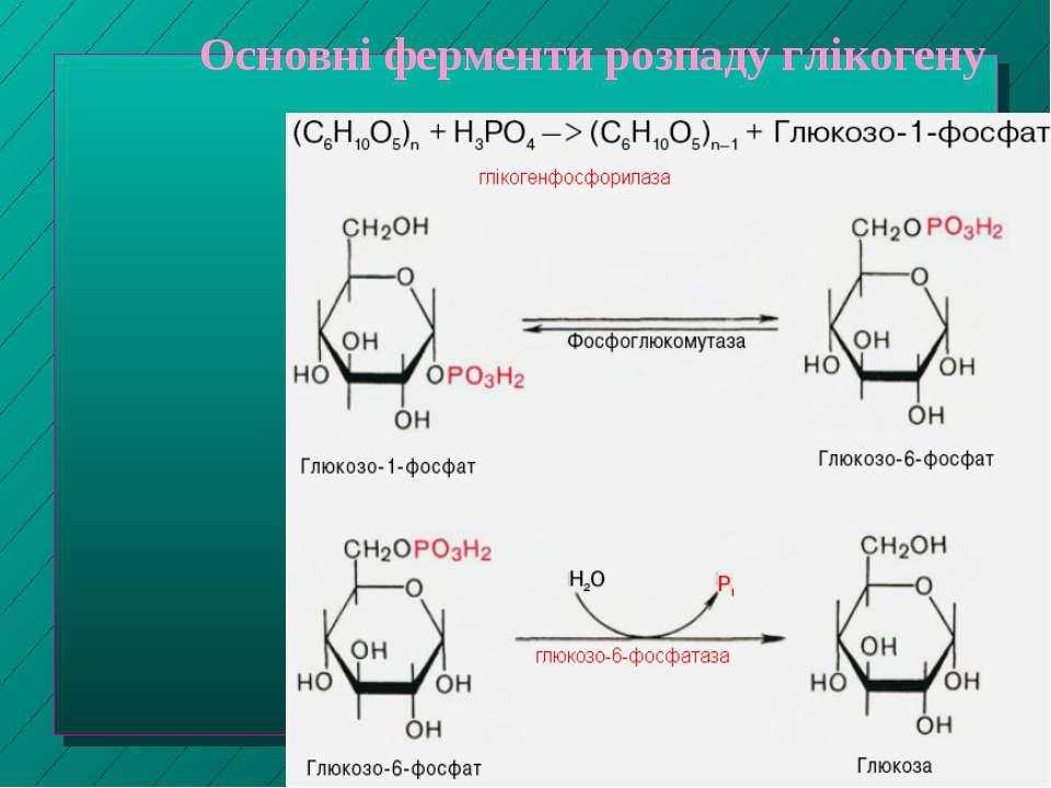 Основні ферменти розпаду глікогену