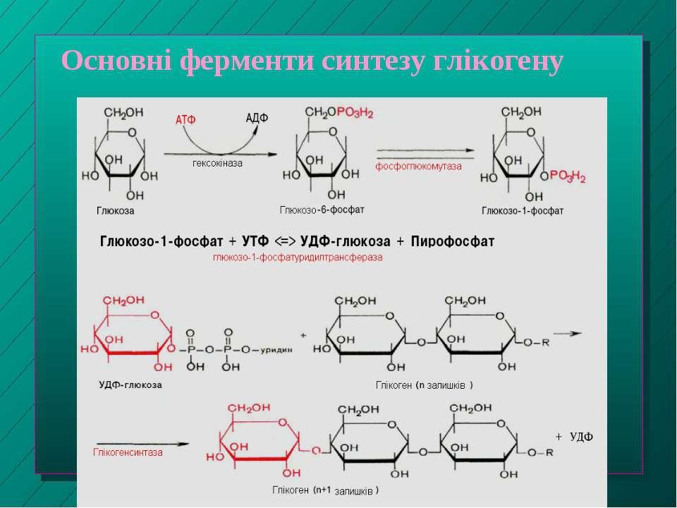Основні ферменти синтезу глікогену
