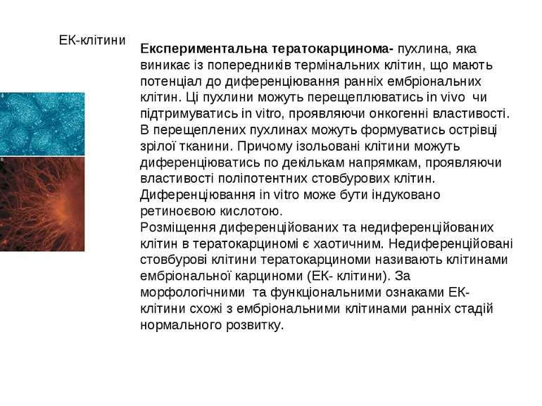 ЕК-клітини Експериментальна тератокарцинома- пухлина, яка виникає із попередн...