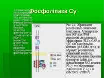 Фосфоліпаза Сγ Активується безпосередньо рецепторами з ТПк активністю (напр.,...