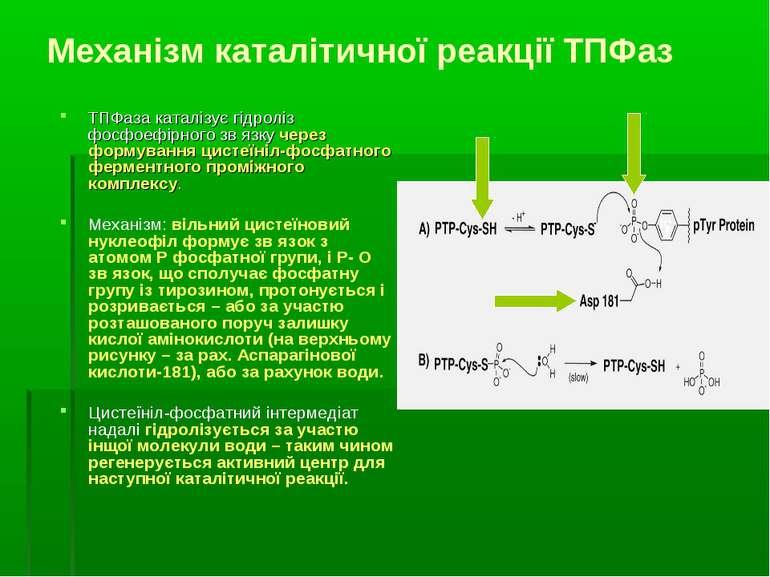 Механізм каталітичної реакції ТПФаз ТПФаза каталізує гідроліз фосфоефірного з...