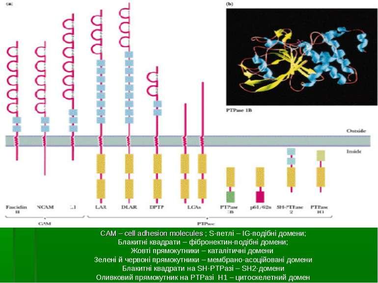 САМ – cell adhesion molecules ; S-петлі – IG-подібні домени; Блакитні квадрат...