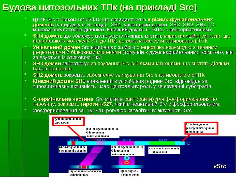 Будова цитозольних ТПк (на прикладі Src) цТПК Src є білком 52-62 kD, що склад...